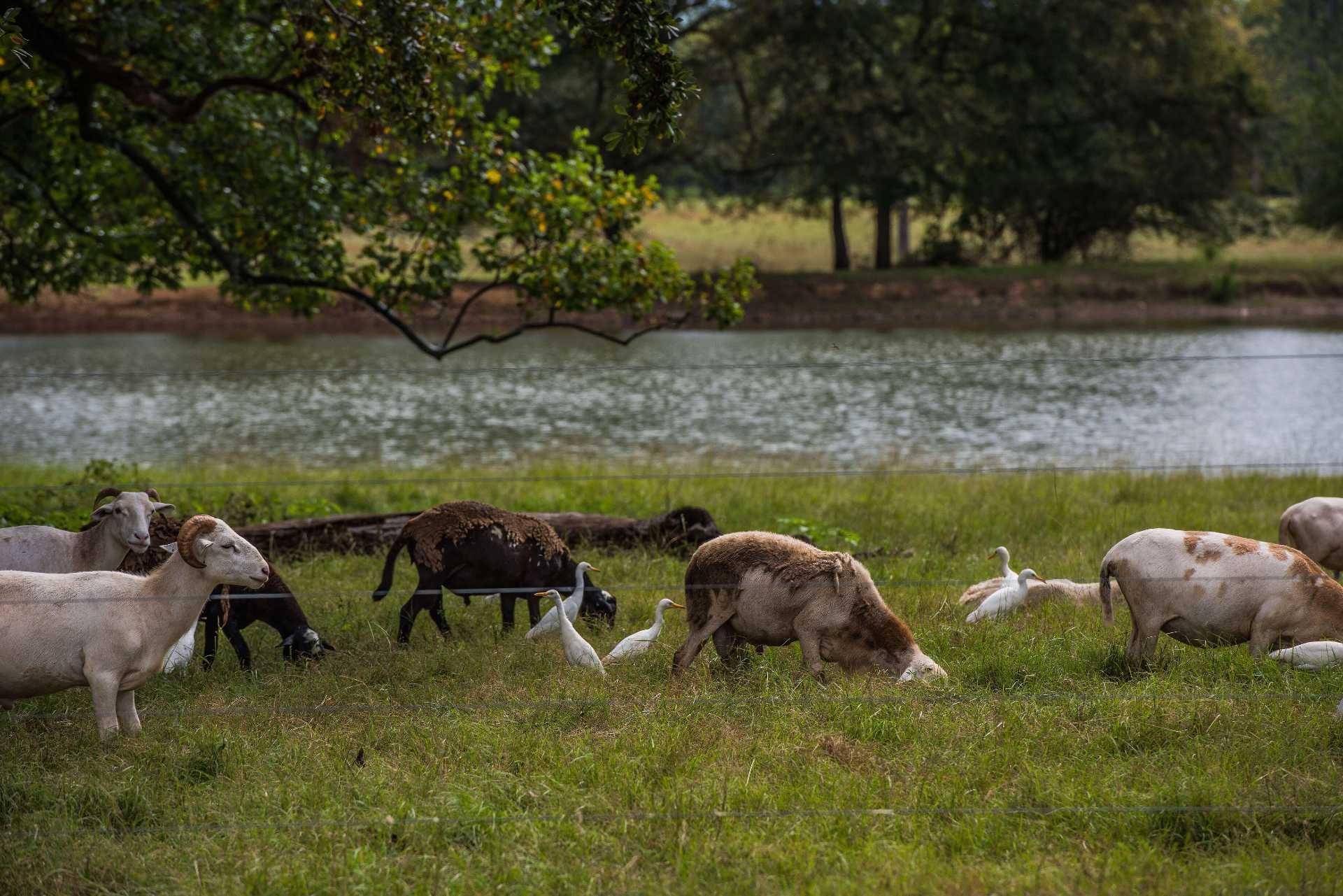 Drawdown Georgia - Sheep Egrets Grazing Near Water