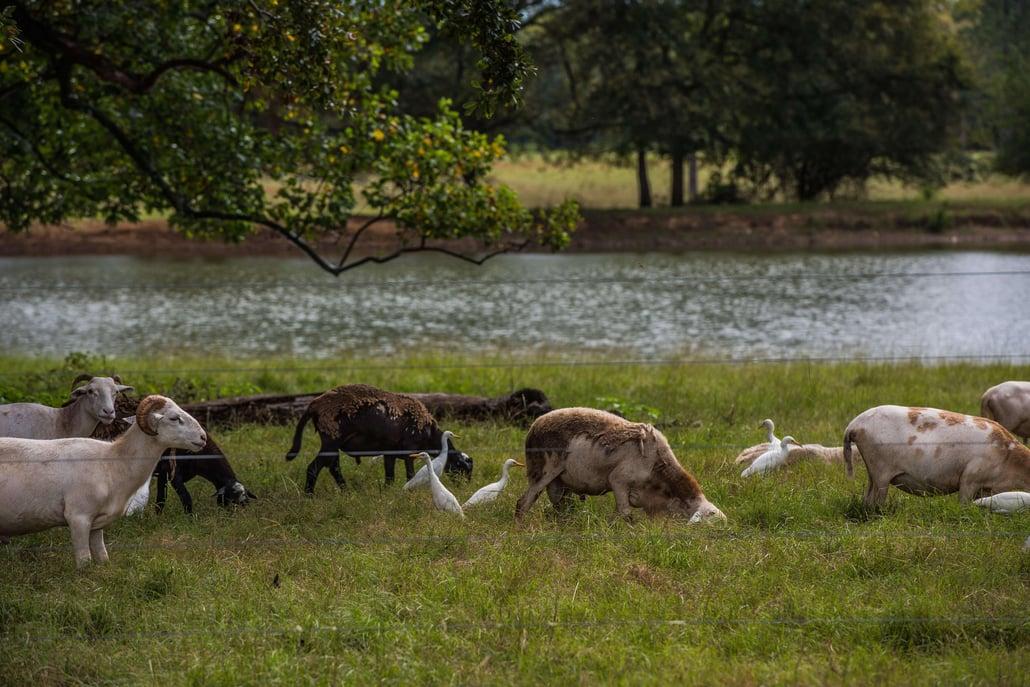 Sheep egrets grazing near water
